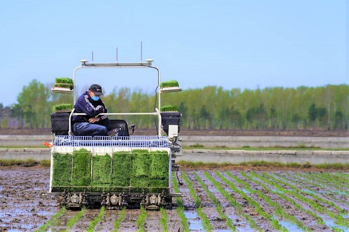 Seorang petani menggunakan mesin pintar penanam padi.