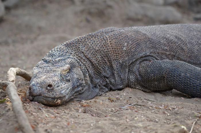 Komodo yang sedang tertidur di jalur short track Pulau Komodo.