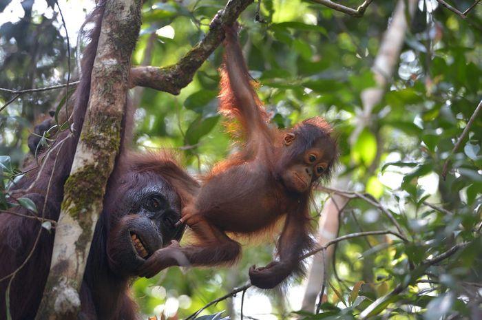 Induk dan anak orangutan di Tanjung Puting, Kalimantan Tengah.