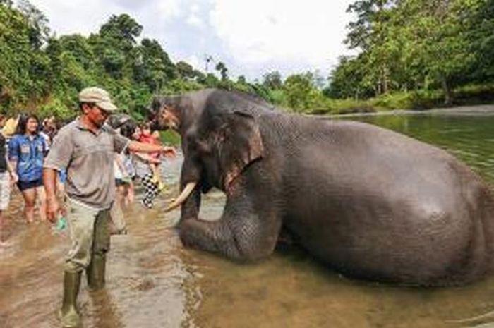 Taman Nasional Gunung Leuseur dihuni oleh gajah-gajah sumatera yang hidup dengan sentosa.