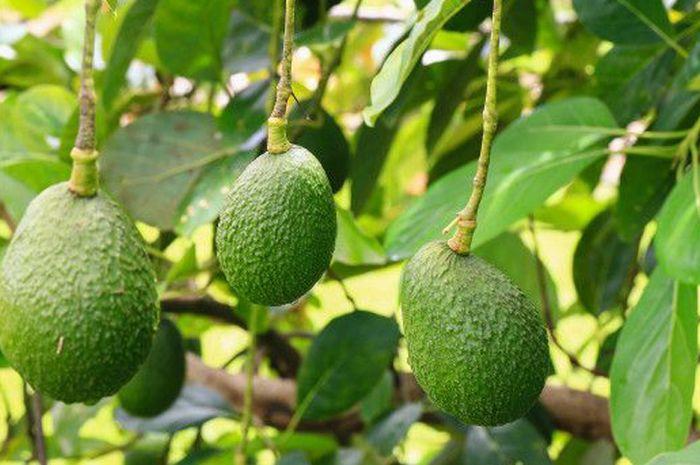 Manfaat air rebusan daun alpukat bagi kesehatan