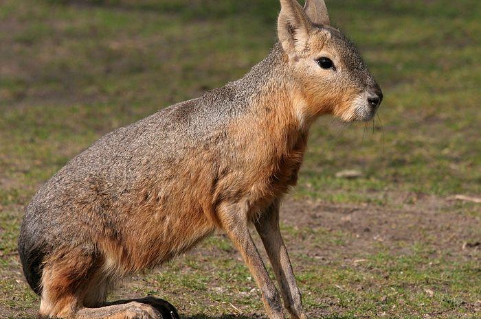 Mara, hewan pengerat penghuni padang rumput