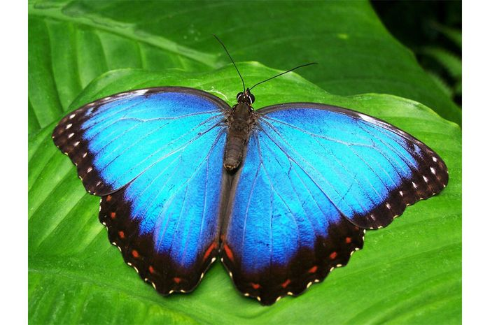 Kenapa sayap kupu-kupu berwarna?