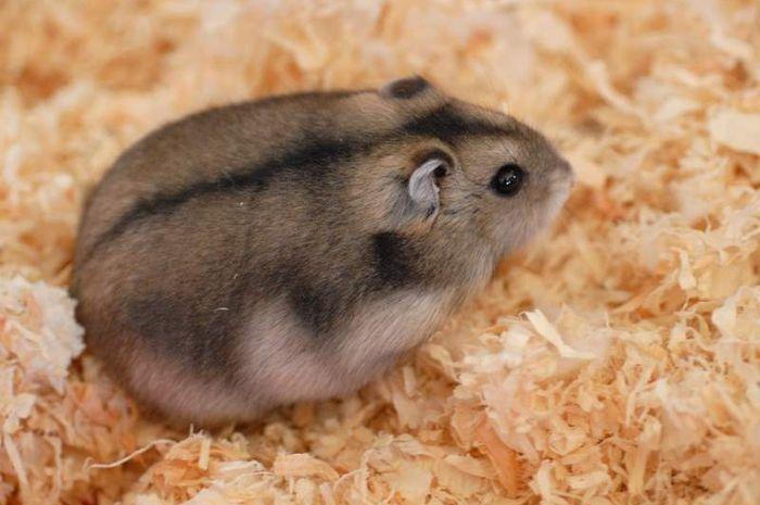 Hamster termasuk dalam famili Cricetidae dengan subfamili Cricetinae.