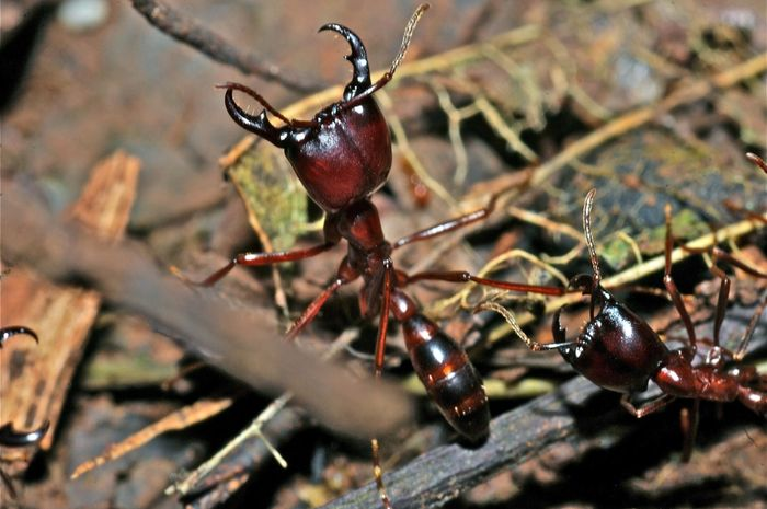 Semut siafu atau Dorylus mendiami hutan hujan dan padang rumput.