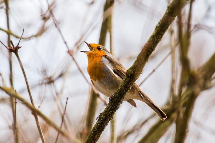 Menurut para ahli, burung-burung yang berkicau sensitif terhadap kicauan burung lain, terutama burung jantan.