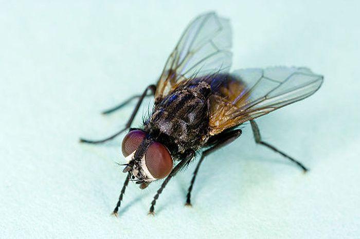 Lalat, Hewan Berbahaya dan Canggih