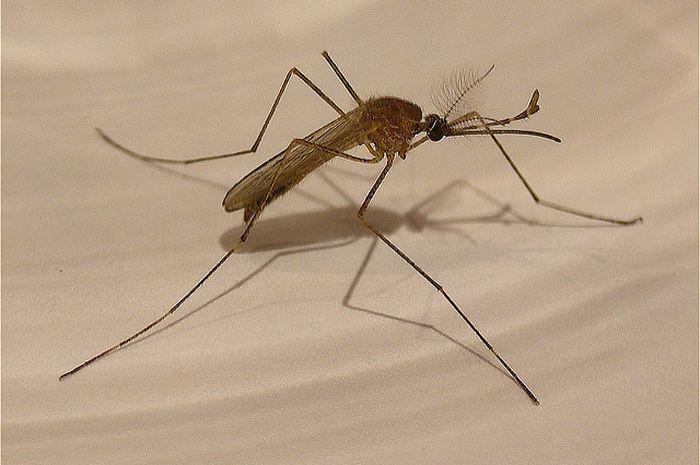 Mengapa nyamuk berdengung di dekat telinga kita?
