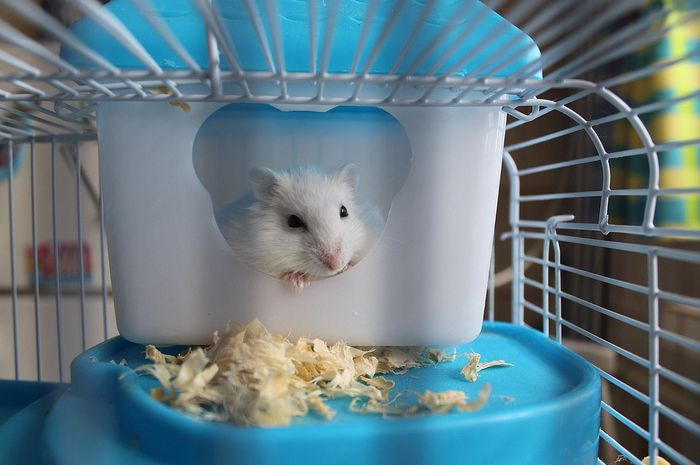 Rajinlah mengganti serbuk kayu di kandang hamster agar bakteri tidak menyebar.