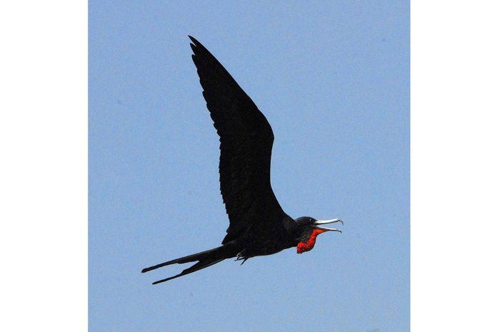 Burung Cikalang, Bisa Tidur Sambil Terbang!