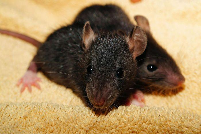 Empat Cara Ampuh untuk Mengusir Tikus