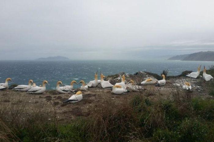 Patung burung Morus di Pulau Mana untuk menarik burung Morus asli.