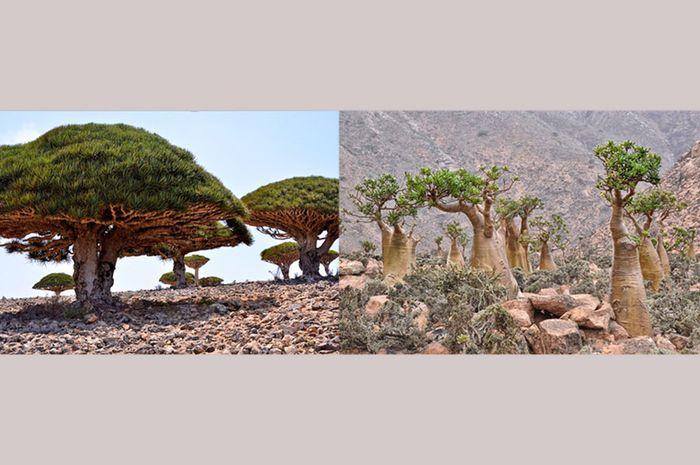 Tanaman endemik dari Pulau Socotra. yaitu Dragon's Blood  Tree dan Bottle Tree.