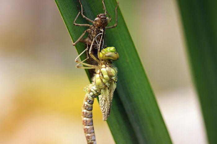 Siklus hidup capung semua halaman boboid larva capung berubah menjadi capung ccuart Gallery