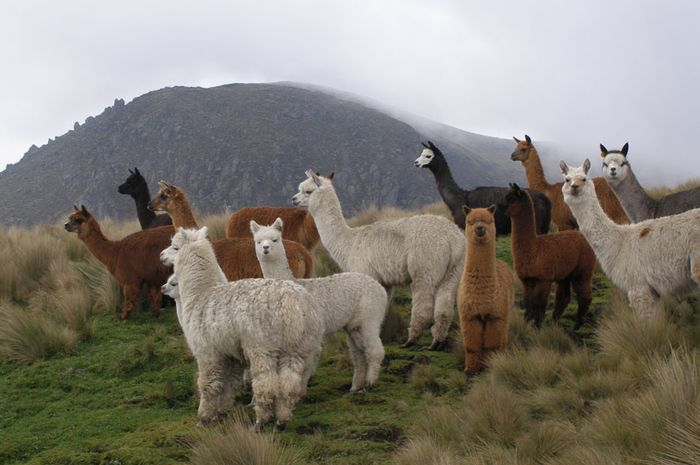 Bulu alpaca bermca-macam warnanya. Ada putih, cokelat muda, cokelat tua. (Foto: Creative Commons)