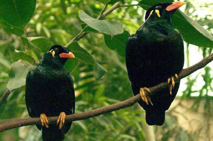 Kenapa ada burung yang bisa bicara seperti manusia?