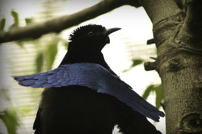 Dianggap Sama, Burung Cendrawasih Spesies Baru ini Memiliki Perbedaan dengan Burung Cendrawasih ...
