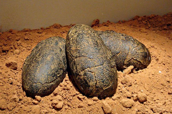 Ada lima telur dinosaurus berusia 70 juta tahun lo di Tiongkok. Foto: museumoftheweird.com
