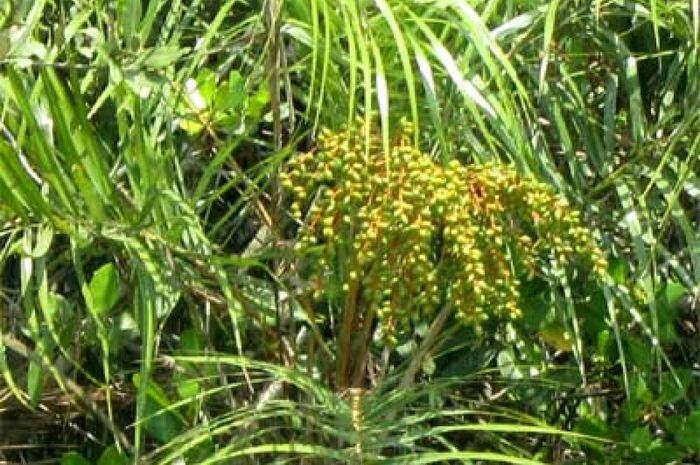Korma rawa (Phoenix paludosa). Foto: gardentia.net