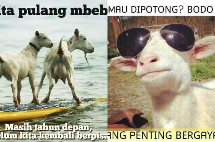 43 Gambar Gambar Meme Lucu Hewan Kurban Idul Adha Ngakak HD