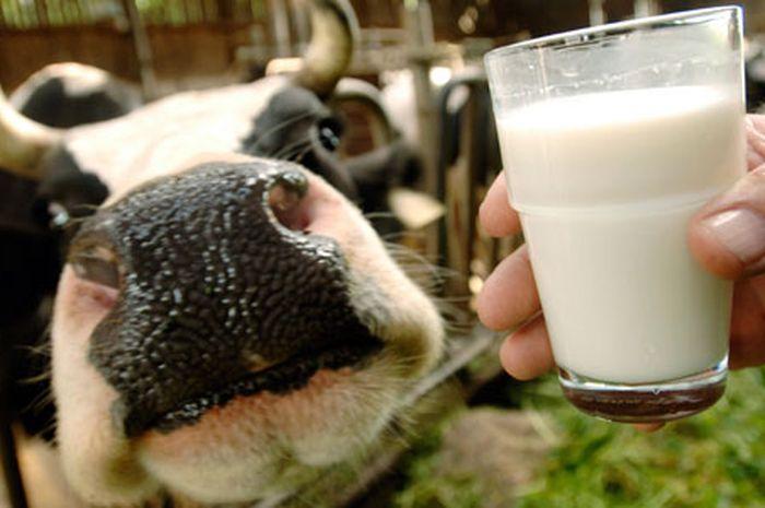 Hasil gambar untuk Susu mentah