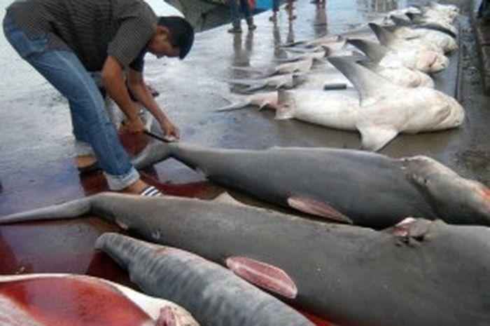 Hati Hati Kuliner Ikan Hiu Berbahaya Bagi Kesehatan Semua Halaman