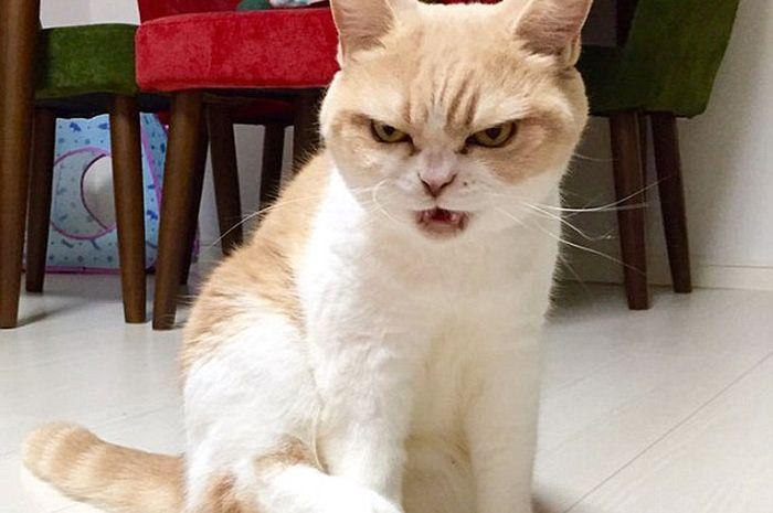 Kiyoki Kucing Dengan Wajah Yang Selalu Marah Dan Cemberut Semua