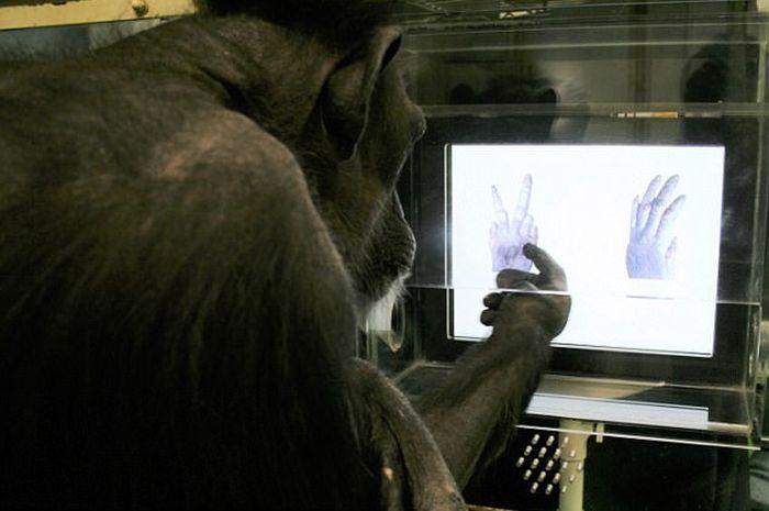 Simpanse bisa bermain hompimpa