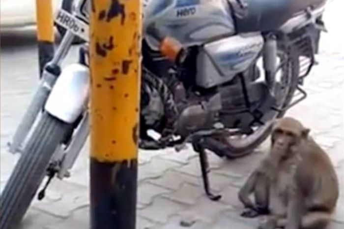 Monyet pemakan bensin.