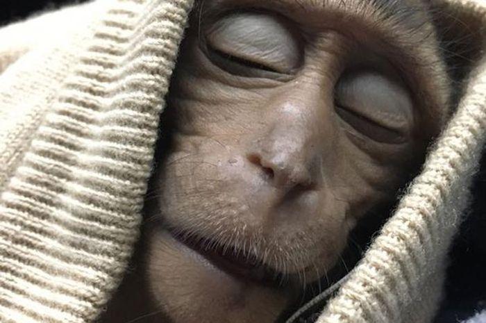 Monyet kra.