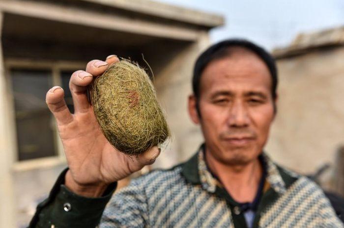 Batu empedu babi yang dianggap sangat berhasiat