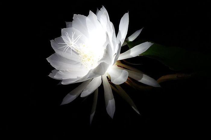 Bunga ini mekar sempurna pada malam hari