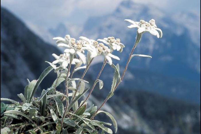 Leontopodium alpinum tumbuh di pengunungan Alpene