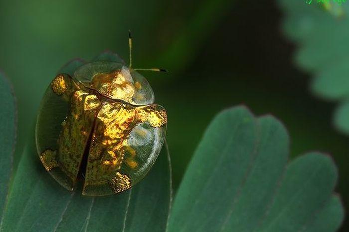kepik emas jadi serangga buruan yang mahal