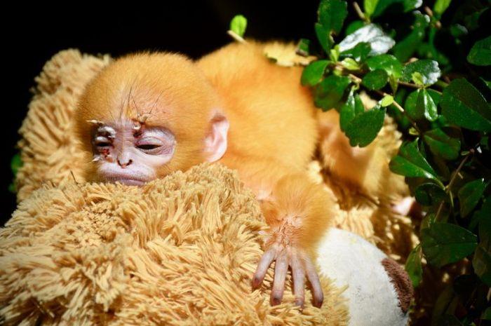 Monyet yatim ini akhirnya bertemu ibu baru