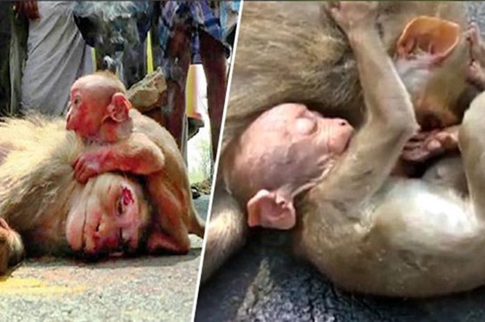 Bayi monyet yang berduka atas kematian induknya