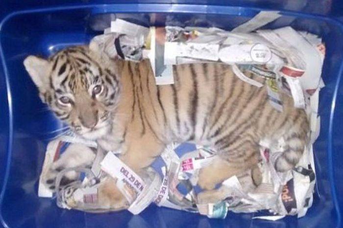 Anak harimau yang dipaketkan