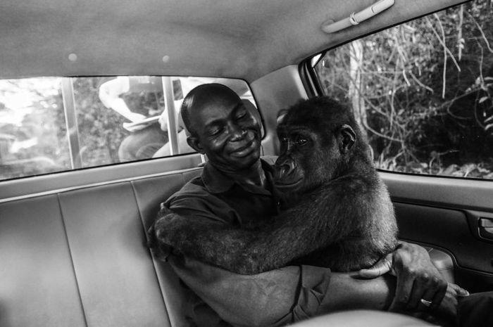 Gorila dan penolongnya telihat saling mengasihi