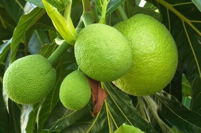 manfaat buah sukun
