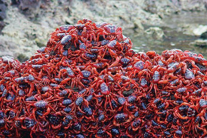 Kepiting Merah Pulau Christmas