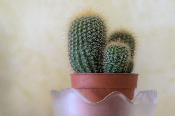 Kaktus melakukan fotosintesis pada organ 8