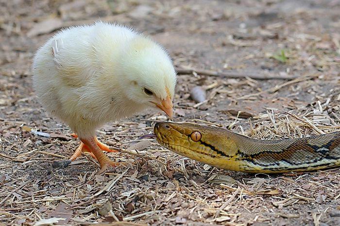 Shio ayam dan ular