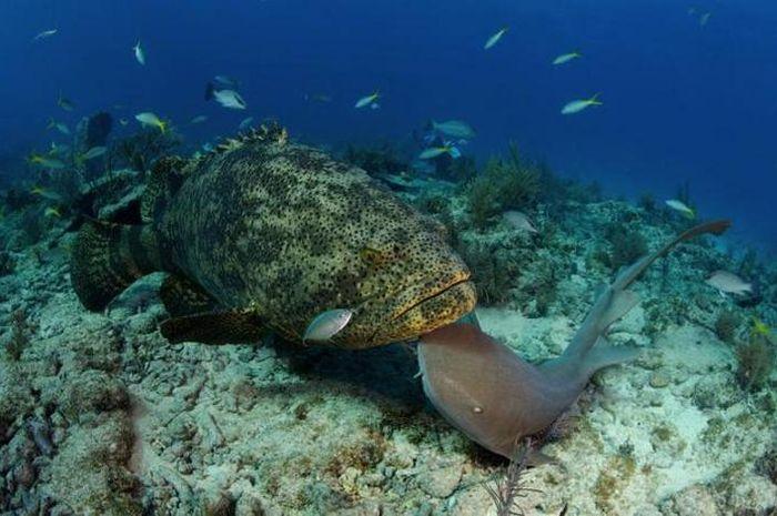 Kerapu Emas Dari Laut Indonesia National Geographic