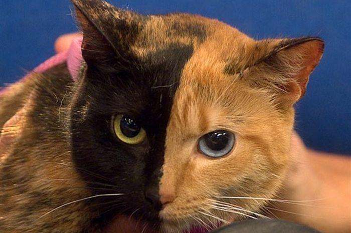 Venus Kucing Unik Dengan 2 Wajah Dan 2 Warna Mata