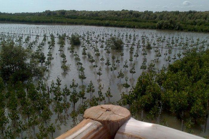Hamparan mangrove di objek wisata Pantai Song Indah, Desa Karangsong, Indramayu, Jawa Barat.