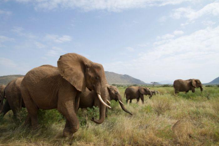 Kawanan gajah afrika