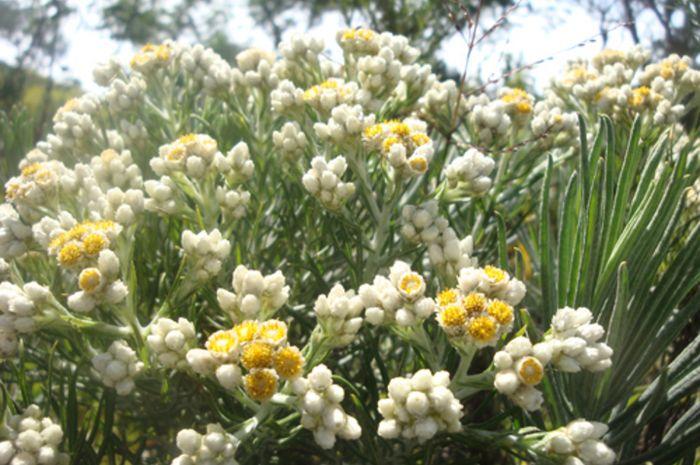 Bunga Edelweis yang dapat kita jumpai sewaktu mendaki Gunung Merbabu di Jawa Tengah
