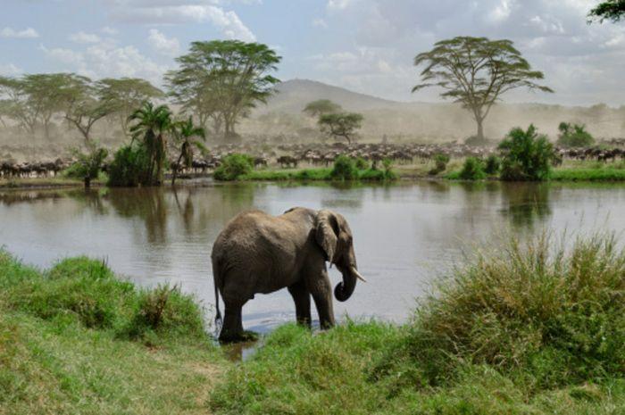 Gajah afrika dengan lanskap Taman Nasional Serengeti, Tanzania.