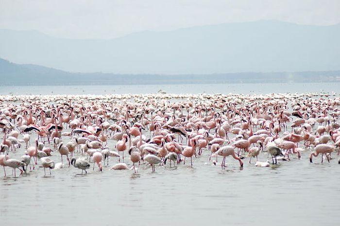 Flamingo yang kini terancam punah, karena habitatnya terancam oleh berbagai aktivitas manusia, terut
