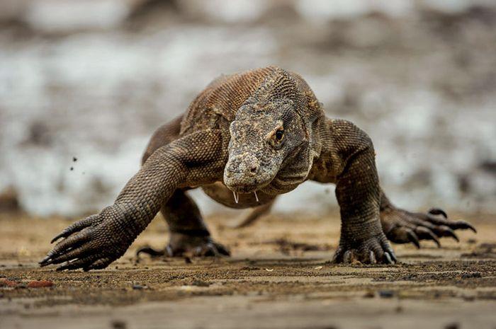 Dengan liur bercucuran, seekor komodo melangkah lebar saat air surut di Pulau Rinca. Ludah komodo be